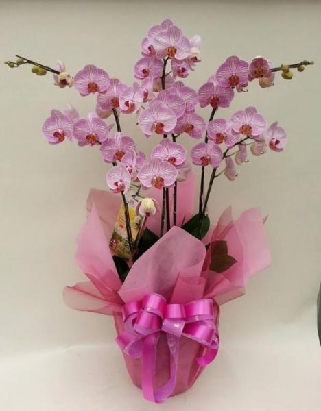 217-2粉色甜心蝴蝶蘭盆栽7入送禮盆栽 1