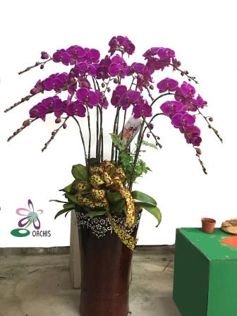 蝴蝶蘭10入組合盆栽禮蘭 1