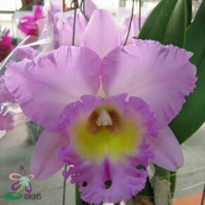 Cattleya catalogue 1