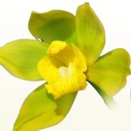 11046 Cymbidium Maureen Carter 'Golden Apple' 1