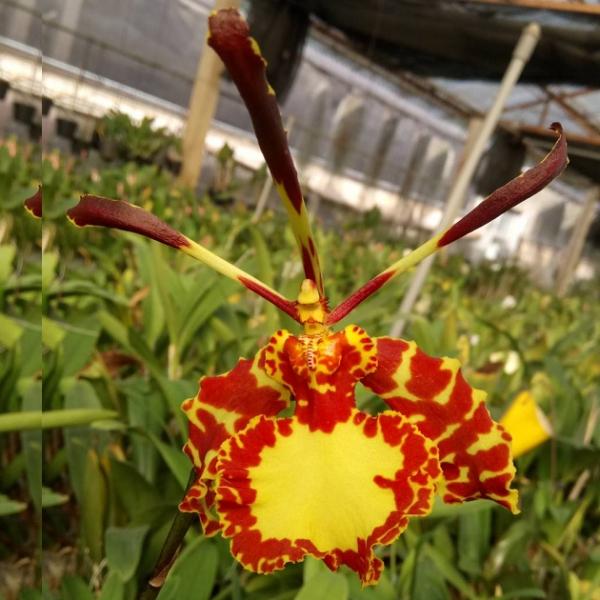 7211 Psychopsis papilio x Psychopsis mariposa 1