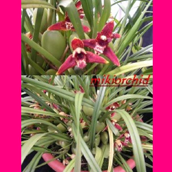 9151 Maxillaria Tenuifolia 1