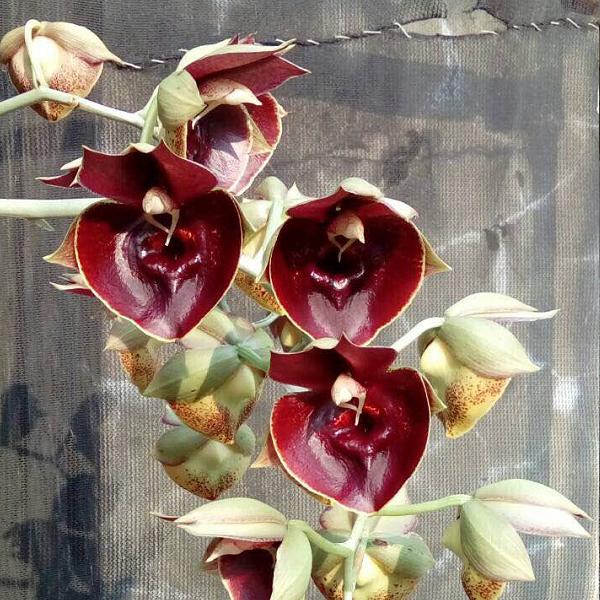 9373 Catasetum Orchidglade 'Jack of Diamond' 2