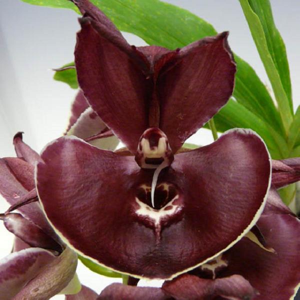 9373 Catasetum Orchidglade 'Jack of Diamond' 1